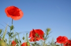 Triumphing the Tall Poppy