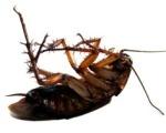 dead-cockroach